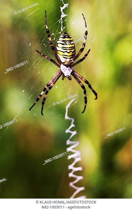 Zebra Spider or Wasp Spider Argiope bruennichi in its web - Bavaria / Germany