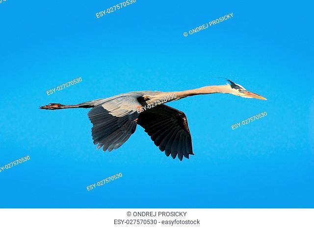Water bird in flight. Flying heron