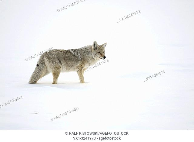 Coyote ( Canis latrans ), adult in winter, standing in high snow, watching around attentively, Yellowstone NP, USA.