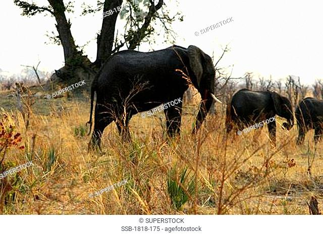 African elephants Loxodonta africana walking in a forest with lions Panthera leo in the background, Hwange National Park, Zimbabwe