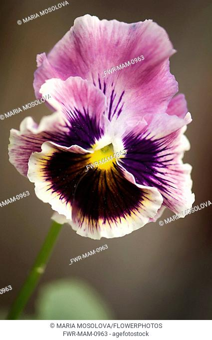Pansy, Viola x wittrockiana. Single flower with ruffled petals of muted purple and area of dark purple-brown radiating from yellow eye at centre