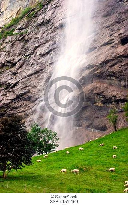 Sheep grazing in a field in front of a waterfall, Staubbach Falls, Lauterbrunnen, Interlaken-Oberhasli, Berne Canton, Switzerland