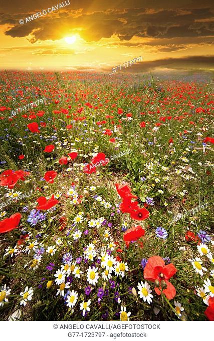 Poppies field  Italy  Umbria  Castelluccio di Norcia