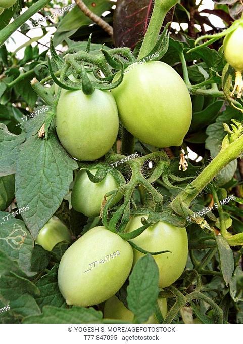Tomatoes on a plant, Lycopersicon esculentum, Pune, Maharashtra, india