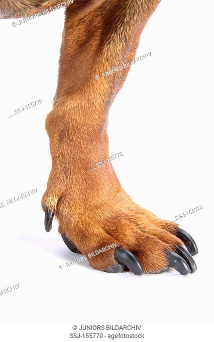 short-haired dachshund - paw
