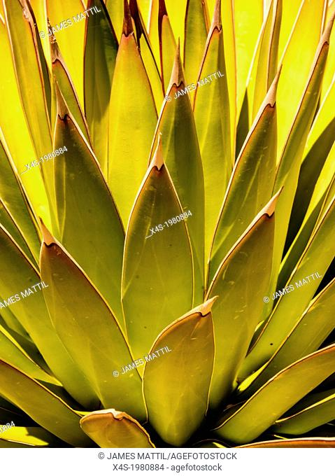 Beautiful abstract leaf patterns of a desert aloe vera plant with dramatic natural lighting