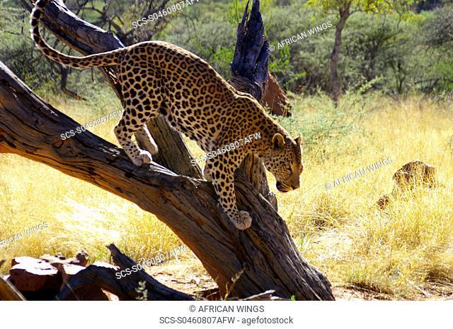 Leopard Okonjima, Namibia