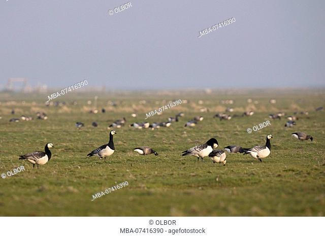 Barnacle geese, Barnacle geese, Branta leucopsis, several on field