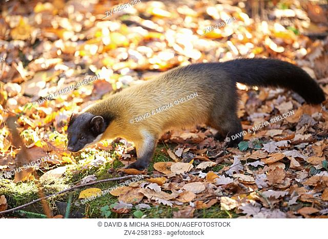 Close-up of a yellow-throated marten (Martes flavigula) in autumn. Captive. Germany