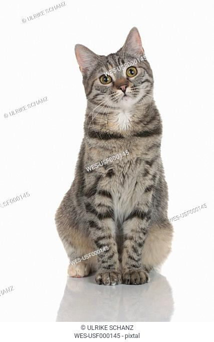 Striped domestic cat sitting on white background, close up