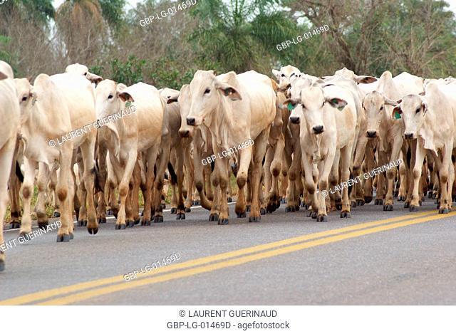 Herd, Cattle, Bonito, Mato Grosso do Sul, Brazil