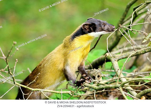 Close-up of a yellow-throated marten or kharza (Martes flavigula) in a bush