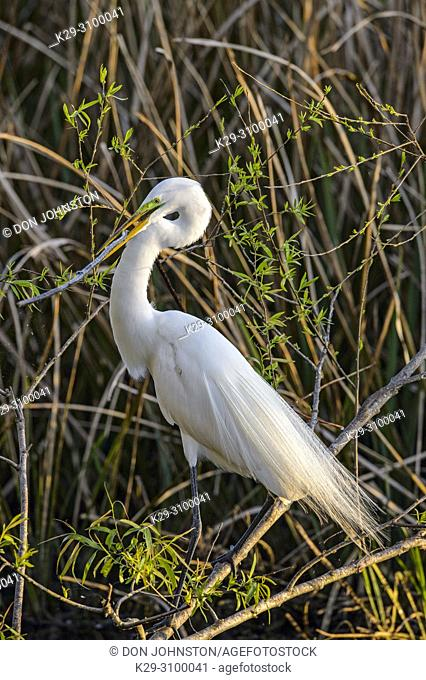 Great egret (Casmerodius albus, Ardea alba, Egretta alba) searching for nest material, Smith Oaks Audubon Rookery, High Island, Texas, USA