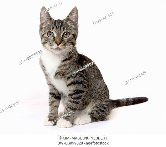domestic cat, house cat (Felis silvestris f. catus), kitten, Germany