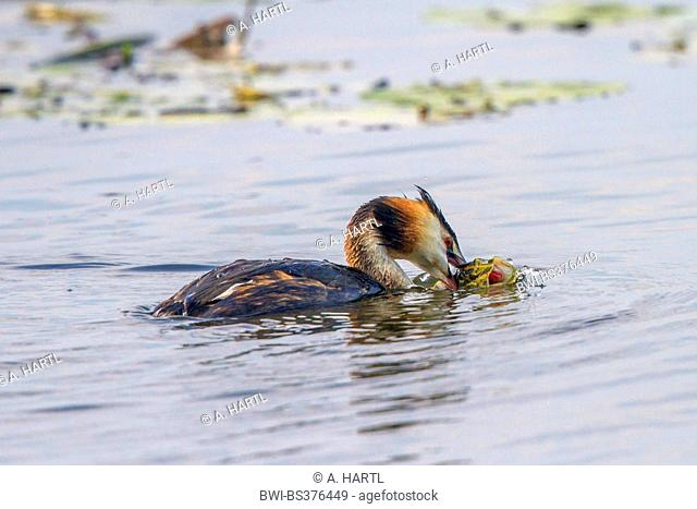 great crested grebe (Podiceps cristatus), with caught spike, Germany, Bavaria, Lake Chiemsee