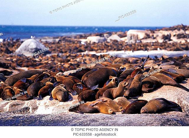 Seal,Cape Town,Republic Of South Africa
