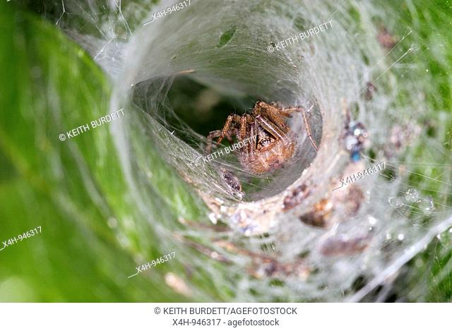 Spider surrounded by food remains in a funnel shaped web, Wales