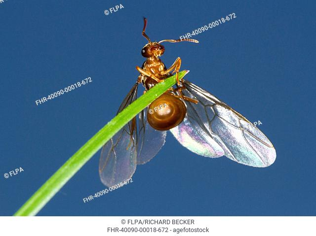 Yellow Meadow Ant (Lasius flavus) winged queeen, about to take flight from grass leaf, Powys, Wales, August