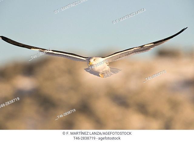 Gull (Larus fuscus), photographed in the Espinar Segovia