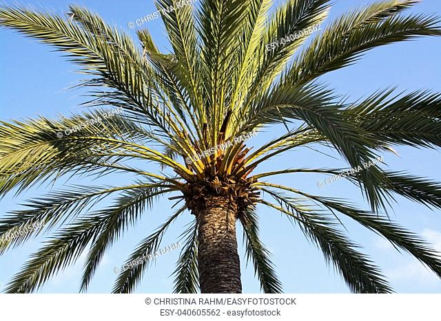 Sunlit palm top branches closeup in Mallorca, Spain