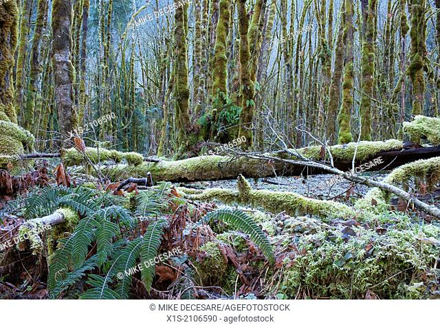 Frost coats a forest floor, ferns, standing and downed timber in a Pacific Northwest forest