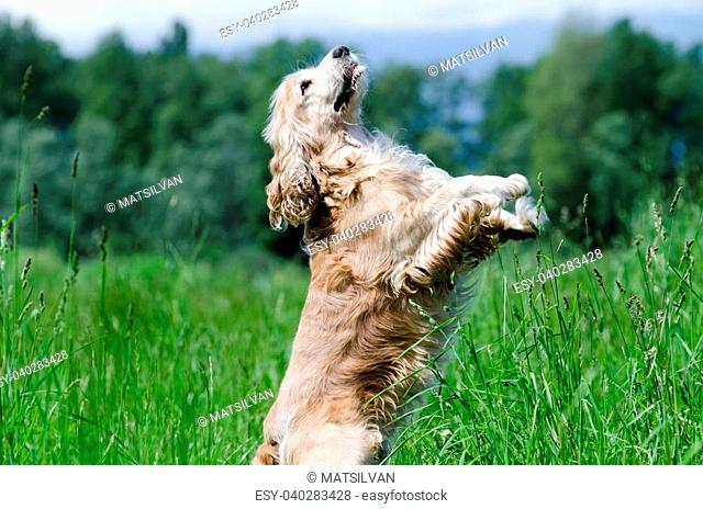 Cocker spaniel dog standing up on the green field