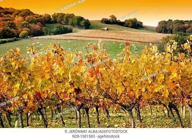 Vineyard, corn fields and cattle near Manciet, Gers, Midi-Pyrenees, France