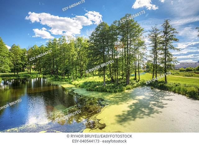 Gomel, Belarus. Scenic View Of Summer Sunny Forest Woods And Wild Bog With Duckweed On Water Surface. Nature. Nobody. Blue Sky