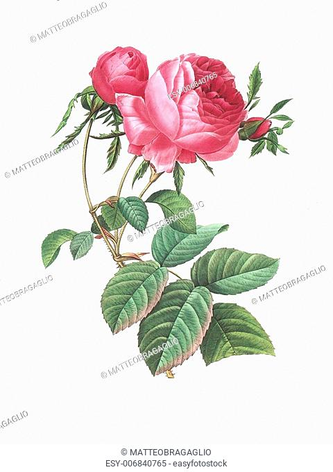 Antique illustration of a rose engraved by Pierre-Joseph Redoute (1759 - 1840), nicknamed The Raphael of flowers