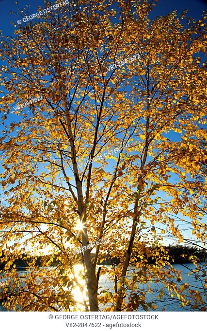 Birch along Kawaguesaga Lake, Bearskin State Trail, Minocqua, Wisconsin