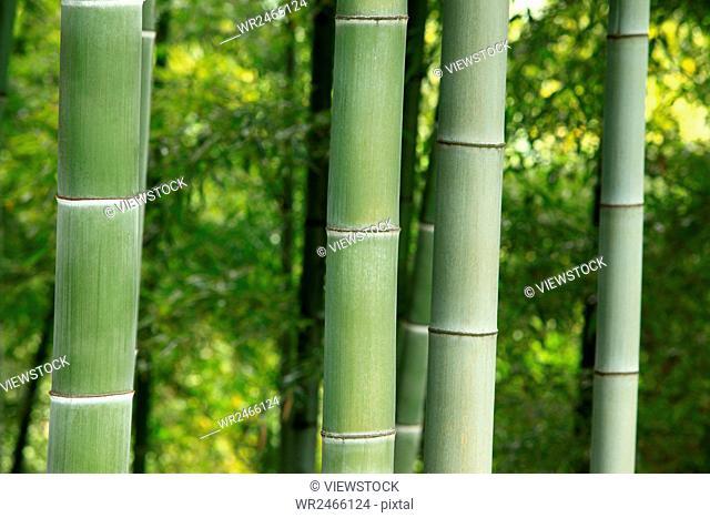 Bamboo forest in Anji, Zhejiang Province, China