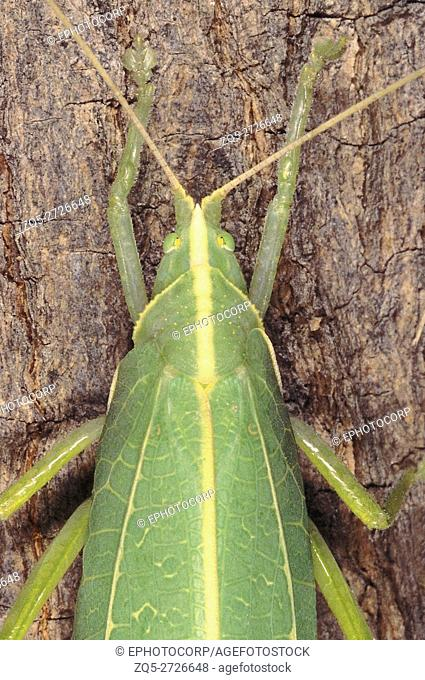 Bush Cricket. Family: Arthropod. The Bush Cricket looks just like a leaf when seen from a distance