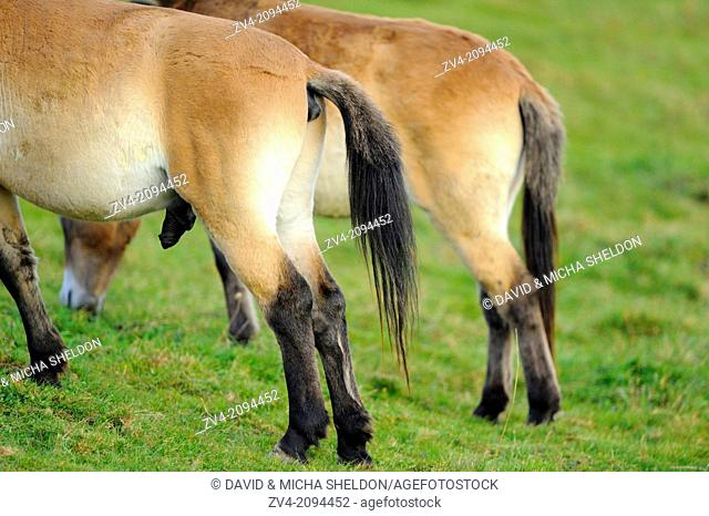 Close-up of the backside from two Przewalski's horses (Equus ferus przewalskii) standing on a meadow in the Bavarian Forest National Park, Germany