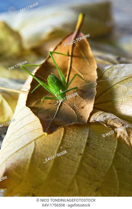 Katydid or bush-cricket Tettigoniidae