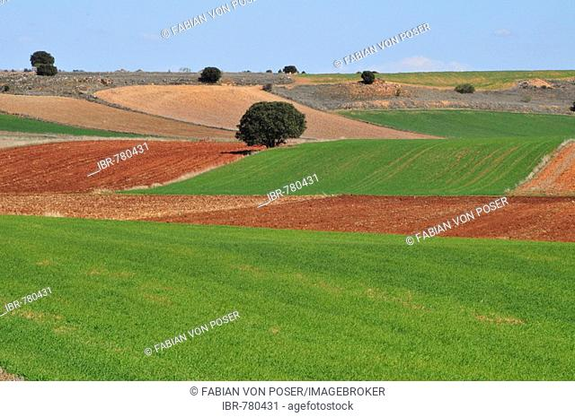 Typical agricultural landscape of rolling fields dotted with trees near Alcaraz, Albacete province, Spain