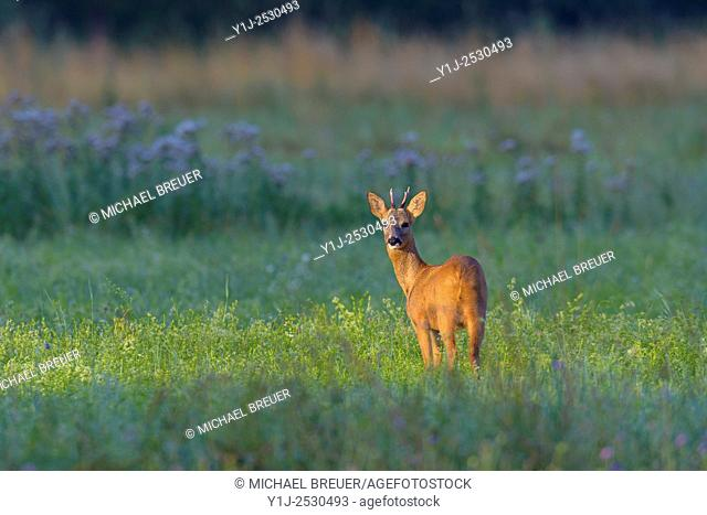Western Roe Deer (Capreolus capreolus) on Meadow, Roebuck, Hesse, Germany, Europe