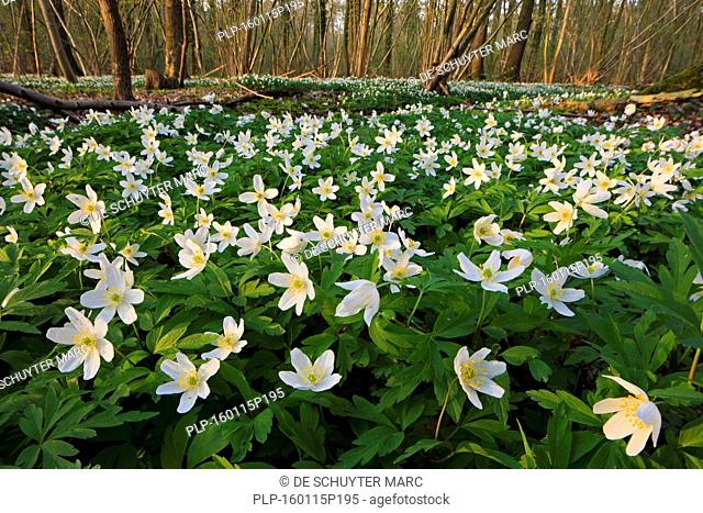Wood anemones (Anemone nemorosa) flowering in beech forest in spring