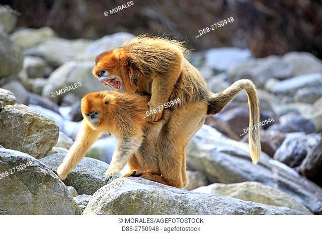 Asia, China, Shaanxi province, Qinling Mountains, Golden Snub-nosed Monkey (Rhinopithecus roxellana)