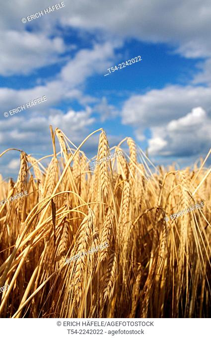 Harvest maturity of barley in a field in Bavaria