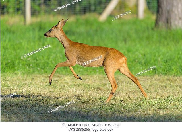 Roe Deer, Capreolus capreolus, Female is jumping, Summer, Germany, Europe