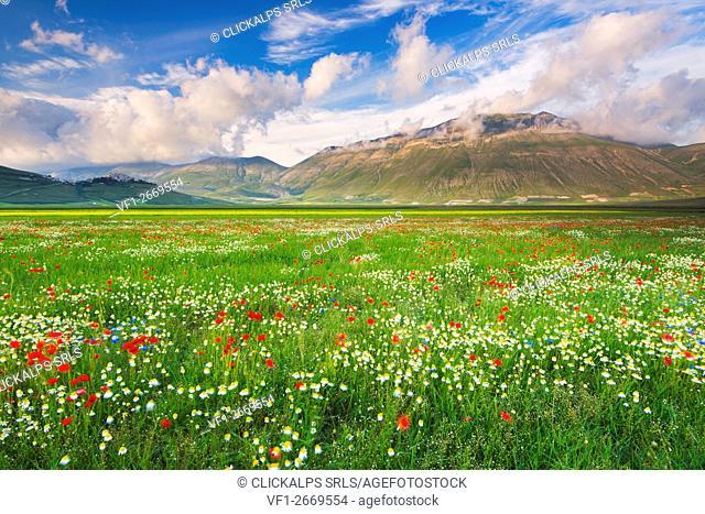 Italy, umbria, Perugia district, Castelluccio di Norcia - flowering of Pian Grande