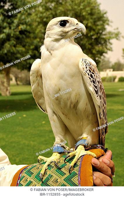Falcon on the arm of a falconer in the Al Ain Zoo, Al Ain, Abu Dhabi, United Arab Emirates, Arabia, the Orient, Middle East