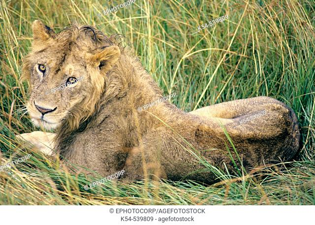 African Lioness, Ngorongoro Conservation Area