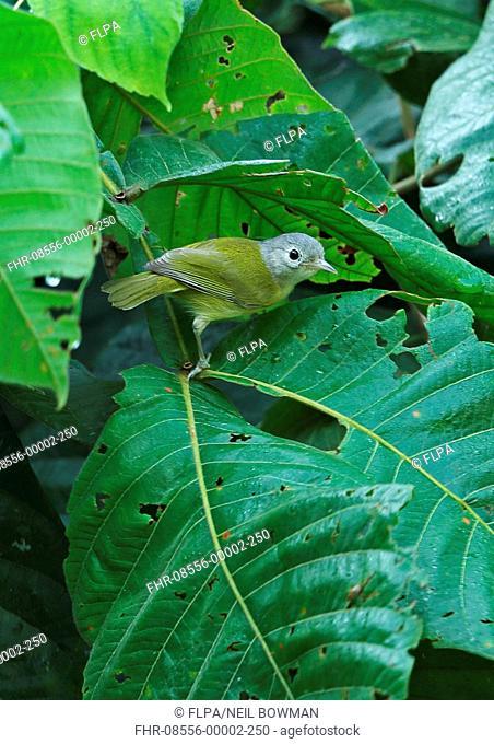 Lesser Greenlet (Hylophilus decurtatus decurtatus) adult, perched on leaf, Lancetilla Botanical Gardens, Honduras, February