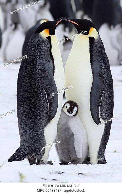 Emperor Penguin (Aptenodytes forsteri) parents and chick, Snow Hill Island, Antarctica