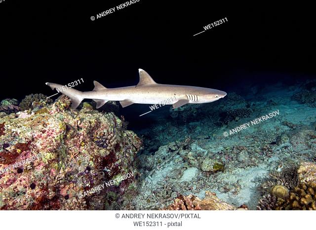Whitetip reef shark (Triaenodon obesus) swim over coral reef in the night, Indian Ocean, Maldives