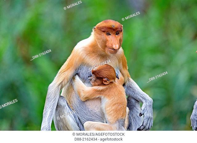 Asia,Borneo,Malaysia,Sabah,Labuk Bay,Proboscis monkey or long-nosed monkey (Nasalis larvatus),adult female and baby