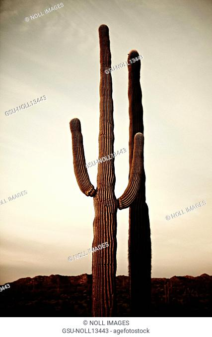 Seguaro Cactus at Sunset, Sonoran Desert, Arizona, USA