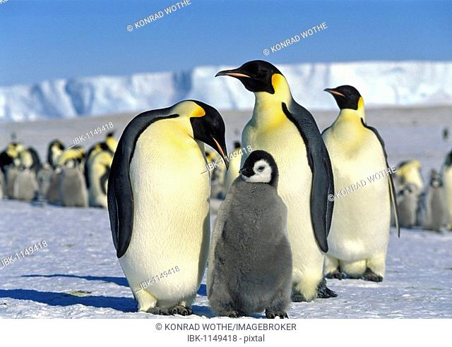 Emperor Penguins (Aptenodytes forsteri) with chick on iceshelf, Antarctica