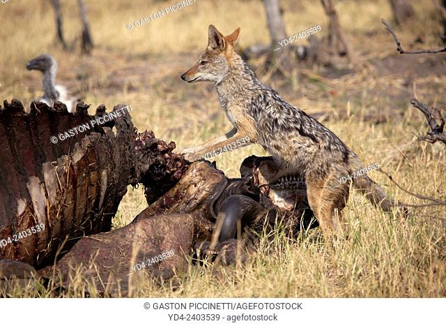 Black-backed Jackal (Canis mesomelas), together with the remains of a Cape buffalo (Syncerus caffer), Savuti, Chobe National Park, Botswana